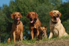 μεγάλα σκυλιά chihuahua λίγα τρία Στοκ εικόνες με δικαίωμα ελεύθερης χρήσης