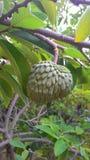 Μεγάλα φρούτα Annona Στοκ Φωτογραφίες