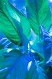 Μεγάλα φύλλα του κρίνου Spathiphyllum ή ειρήνης Στοκ φωτογραφίες με δικαίωμα ελεύθερης χρήσης