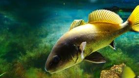Μεγάλα ψάρια που επιπλέουν στο ενυδρείο στοκ εικόνα με δικαίωμα ελεύθερης χρήσης