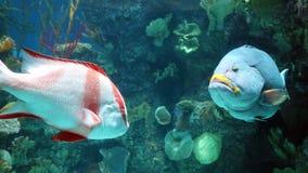 Μεγάλα ψάρια στο ενυδρείο στον ωκεανό, πλάσμα θάλασσας ALT Στοκ Εικόνες