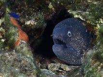 Μεγάλα ψάρια Maldivler ` DA υποβρύχια, περιμένοντας το θήραμά του Στοκ Εικόνες