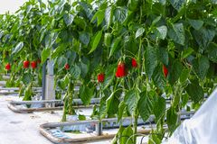 Μεγάλα ώριμα γλυκά κόκκινα πιπέρια κουδουνιών, πάπρικα, που αυξάνονται στο γυαλί πράσινο Στοκ Φωτογραφίες