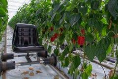 Μεγάλα ώριμα γλυκά κόκκινα πιπέρια κουδουνιών, πάπρικα, που αυξάνονται στο γυαλί πράσινο Στοκ φωτογραφία με δικαίωμα ελεύθερης χρήσης