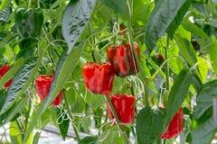 Μεγάλα ώριμα γλυκά κόκκινα πιπέρια κουδουνιών, πάπρικα, που αυξάνονται στο γυαλί πράσινο Στοκ Εικόνα