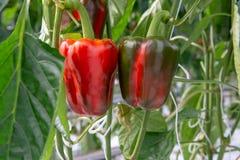 Μεγάλα ώριμα γλυκά κόκκινα πιπέρια κουδουνιών, πάπρικα, που αυξάνονται στο γυαλί πράσινο Στοκ εικόνα με δικαίωμα ελεύθερης χρήσης