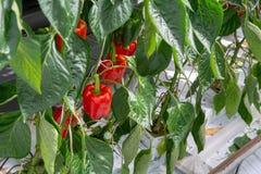Μεγάλα ώριμα γλυκά κόκκινα πιπέρια κουδουνιών, πάπρικα, που αυξάνονται στο γυαλί πράσινο Στοκ Εικόνες