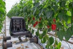 Μεγάλα ώριμα γλυκά κόκκινα πιπέρια κουδουνιών, πάπρικα, που αυξάνονται στο γυαλί πράσινο Στοκ Φωτογραφία