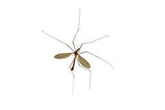μεγάλα tipulidae κουνουπιών Στοκ φωτογραφία με δικαίωμα ελεύθερης χρήσης