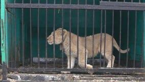 Μεγάλες άγριες γάτες πίσω από τα κάγκελα απόθεμα βίντεο