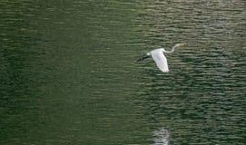 Μεγάλες άσπρες μύγες τσικνιάδων χαριτωμένα πέρα από τη λίμνη Στοκ Εικόνες