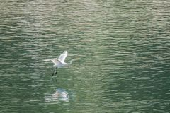 Μεγάλες άσπρες μύγες τσικνιάδων χαριτωμένα πέρα από τη λίμνη Στοκ Φωτογραφία