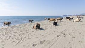 Μεγάλες έξυπνες αγελάδες στην άμμο Στοκ φωτογραφίες με δικαίωμα ελεύθερης χρήσης
