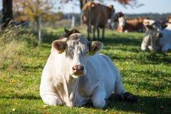 Μεγάλες αγελάδες άκρης που βάζουν και που στηρίζονται στη χλόη Στοκ Εικόνα