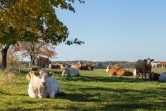 Μεγάλες αγελάδες άκρης που βάζουν και που στηρίζονται στη χλόη Στοκ Φωτογραφίες