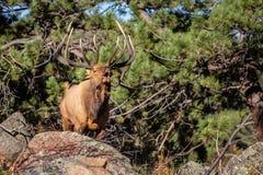 Μεγάλες βασιλοπρεπείς άλκες Bugling του Bull σε μια προεξοχή βράχου στο Κολοράντο στοκ φωτογραφία