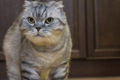 Μεγάλες γκρίζες σκωτσέζικες πτυχές γατών στοκ φωτογραφία με δικαίωμα ελεύθερης χρήσης