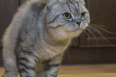 Μεγάλες γκρίζες σκωτσέζικες πτυχές γατών στοκ φωτογραφίες με δικαίωμα ελεύθερης χρήσης