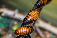 Μεγάλες κατσαρίδες της Μαδαγασκάρης Στοκ Εικόνα
