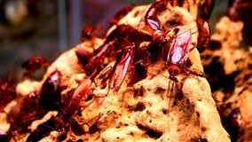 Μεγάλες κατσαρίδες της Φλώριδας σε μια δέσμη πάνω από έναν μεγάλο βράχο στοκ εικόνες