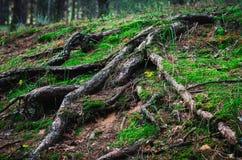 Μεγάλες ρίζες δέντρων που αναρριχούνται από το έδαφος, που εισβάλλεται με το βρύο και τις χλόες Πυροβολισμός σε επίπεδο ματιών στοκ εικόνες