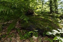 Μεγάλες, όμορφες και πράσινες φτέρες στο δάσος κατά μήκος του τρόπου στην καλύβα Kozya Stena Το βουνό κεντρικό στο βαλκανικό κατα στοκ φωτογραφία
