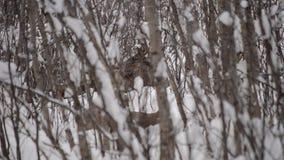 Μεγάλες όμορφες καφετιές άλκες που στηρίζονται στο βαθύ κρύο χειμερινό δάσος στην αγριότητα αρκτικών κύκλων απόθεμα βίντεο