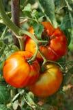 μεγάλες ώριμες ντομάτες Στοκ φωτογραφία με δικαίωμα ελεύθερης χρήσης