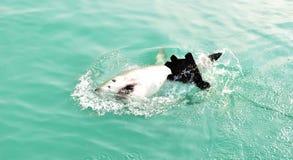 Μεγάλη άσπρη επιφάνεια θάλασσας παραβίασης καρχαριών για να πιάσει το θέλγητρο κρέατος και το δόλωμα σφραγίδων στοκ εικόνες με δικαίωμα ελεύθερης χρήσης