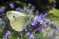 Μεγάλη άσπρη πεταλούδα στο ιώδες λουλούδι levander στοκ φωτογραφίες με δικαίωμα ελεύθερης χρήσης