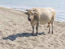 Μεγάλη αγελάδα στην άμμο Στοκ εικόνες με δικαίωμα ελεύθερης χρήσης