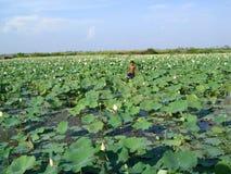 Μεγάλη ανάπτυξη φύλλων της Καμπότζης Waterlily στο νερό στοκ φωτογραφία με δικαίωμα ελεύθερης χρήσης