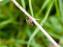 Μεγάλη αράχνη κήπων έξω από την ένωση επάνω στο Di Araneus λεπίδων της χλόης Στοκ Εικόνες