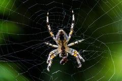Μεγάλη αράχνη στον Ιστό του Στοκ εικόνες με δικαίωμα ελεύθερης χρήσης