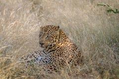 Μεγάλη αρσενική λεοπάρδαλη που καθορίζει στη χλόη Στοκ Εικόνα