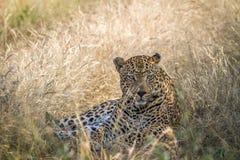 Μεγάλη αρσενική λεοπάρδαλη που καθορίζει στη χλόη Στοκ Φωτογραφίες
