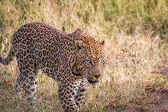 Μεγάλη αρσενική λεοπάρδαλη που περπατά στη χλόη Στοκ Φωτογραφίες