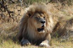 Μεγάλη γάτα λιονταριών Στοκ Εικόνες