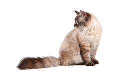 μεγάλη γάτα Σιβηριανός στοκ εικόνες