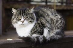 μεγάλη γάτα Στοκ Φωτογραφία