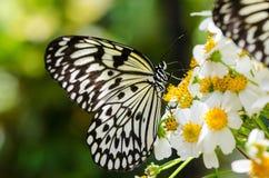 Μεγάλη γραπτή πεταλούδα πεταλούδων Ohgomadara που στηρίζεται στα λουλούδια Στοκ Εικόνες