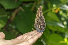 Μεγάλη καφετιά πεταλούδα Στοκ Εικόνες