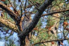 Μεγάλη κερασφόρος κουκουβάγια στοκ εικόνες με δικαίωμα ελεύθερης χρήσης