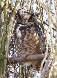 Μεγάλη κερασφόρος συνεδρίαση κουκουβαγιών σε ένα δέντρο που καλύπτεται στοκ εικόνες