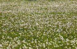 Μεγάλη μάζα των ρολογιών πικραλίδων Στοκ Εικόνες