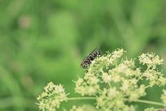 Μεγάλη μαύρη μύγα στο λουλούδι καλοκαίρι ημέρας ηλιόλουστο στοκ φωτογραφία με δικαίωμα ελεύθερης χρήσης