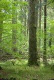 μεγάλη μαύρη χαρακτηρισμένη δρύινη παλαιά λουρίδα Στοκ Εικόνες