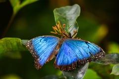 Μεγάλη μπλε όμορφη πεταλούδα στοκ φωτογραφίες με δικαίωμα ελεύθερης χρήσης