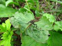 μεγάλη μύγα Στοκ εικόνα με δικαίωμα ελεύθερης χρήσης