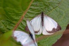 Μεγάλη νότια άσπρη πεταλούδα δύο στα διαφορετικά στάδια της ερωτοτροπίας Ι στοκ φωτογραφία με δικαίωμα ελεύθερης χρήσης